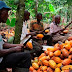 Rains, flood hampers Nigeria's cocoa harvest
