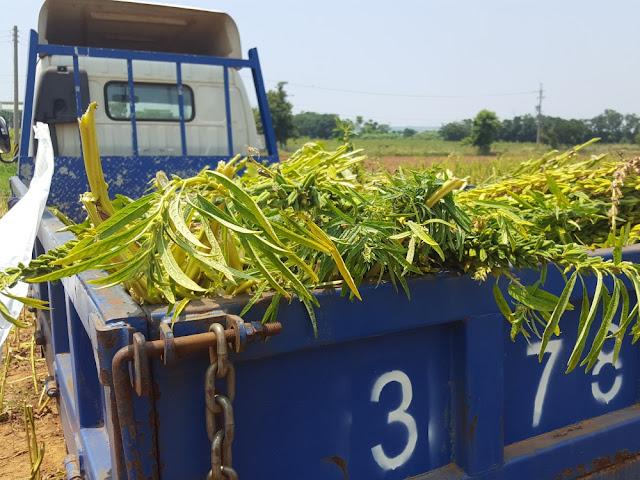 【菜脯埕】採收下來的黑芝麻植株,上還有綠綠的葉子