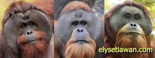 3 jenis orangutan asli indonesia