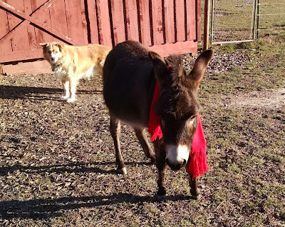 mini-donkey-wearing-red-scarf-in-North-Carolina