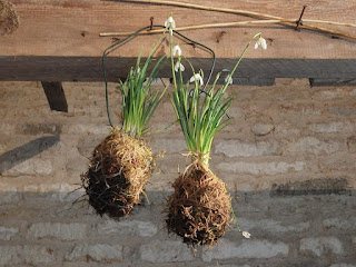 Kokedama (aka moss balls) used for a hanging display of snowdrops at Easton Walled Gardens