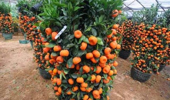 jeruk sunkist wikipedia, jeruk sunkist adalah, jeruk sunkist untuk ibu hamil, jeruk sunkist untuk diet, jeruk lemon, jeruk nipis