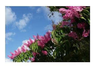 Mengenal tanaman bungur bunga sakura dari indonesia