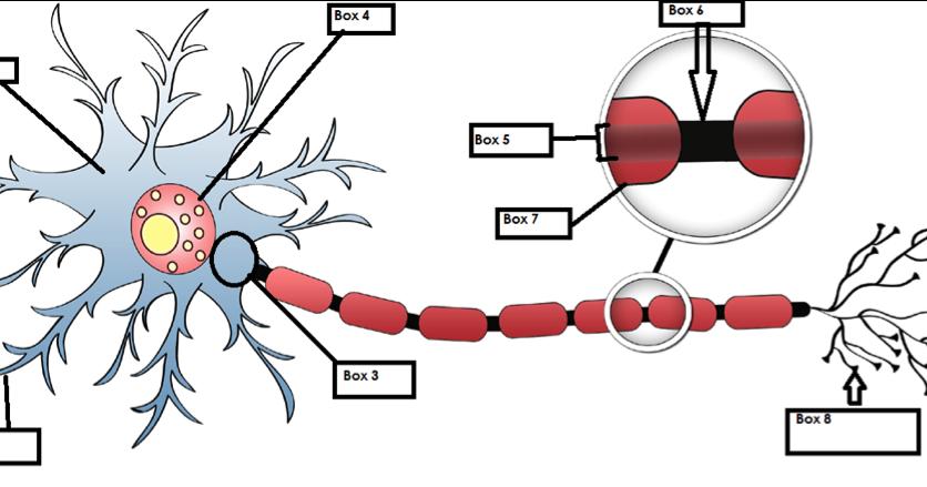 Jorge Emilio Verduzco Neuron Worksheet