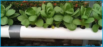 cara meletakkan sayur hidroponik pada paralon