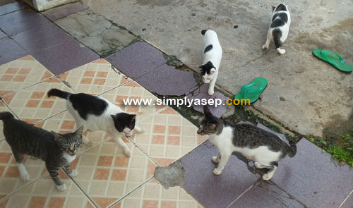 IKAN KEMBUNG : Kucing kucing ini suka sekali Ikan Kembung, kadan juga suka sama Whiskas, makanan kucing olahan.  Foto Asep Haryono