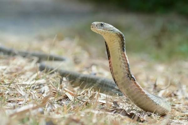 contoh binatang melata ular