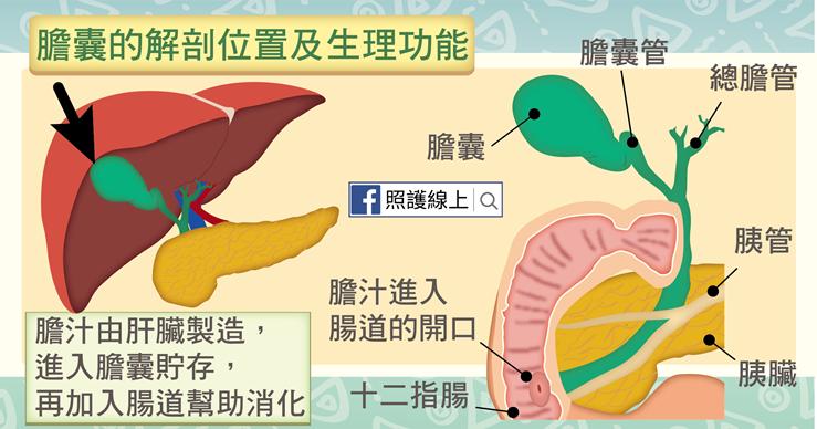膽囊的解剖位置與功能