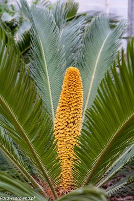 Powsin ogród botaniczny PAN rośliny kwitnące palma