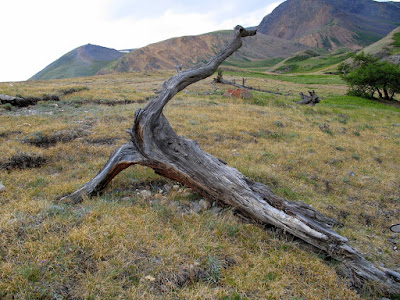 Old trees reveal Late Antique Little Ice Age (LALIA) around 1,500 years ago