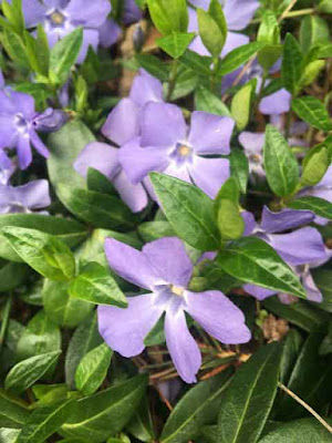 Vinca minor closeup