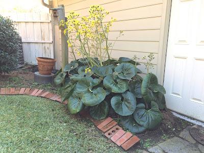 Farfugium japonicum var. giganteum