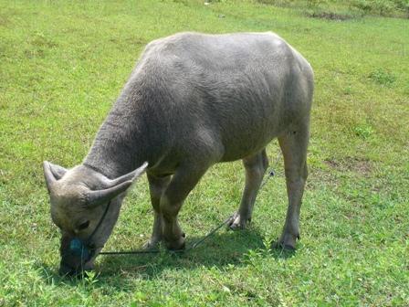 Mengenal Hewan dan Tumbuhan Nama Ilmiah Kerbau
