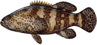 سمك الوقار او سمك الهامور