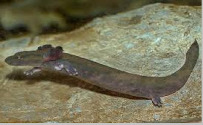 Common Mudpuppy (Necturus maculosus) - berbagaireviews.com