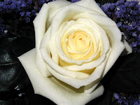 White rose of remembrance