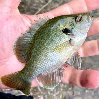 Sunfish, Fly Fishing for sunfish, sunfish in texas, San marcos River, Fly Fishing the San Marcos River, Fly Fishing in San Marcos, Texas Fly Fishing, Fly Fishing Texas, Texas Freshwater Fly Fishing, Pat Kellner, TFFF