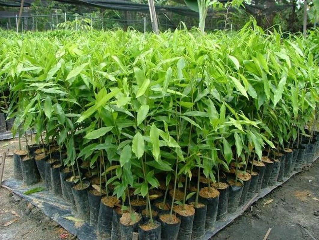 BIBIT POHON GAHARU aquilaria malaccensis cabutan Sumatra Utara