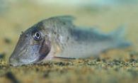 Jenis Ikan Corydoras solox