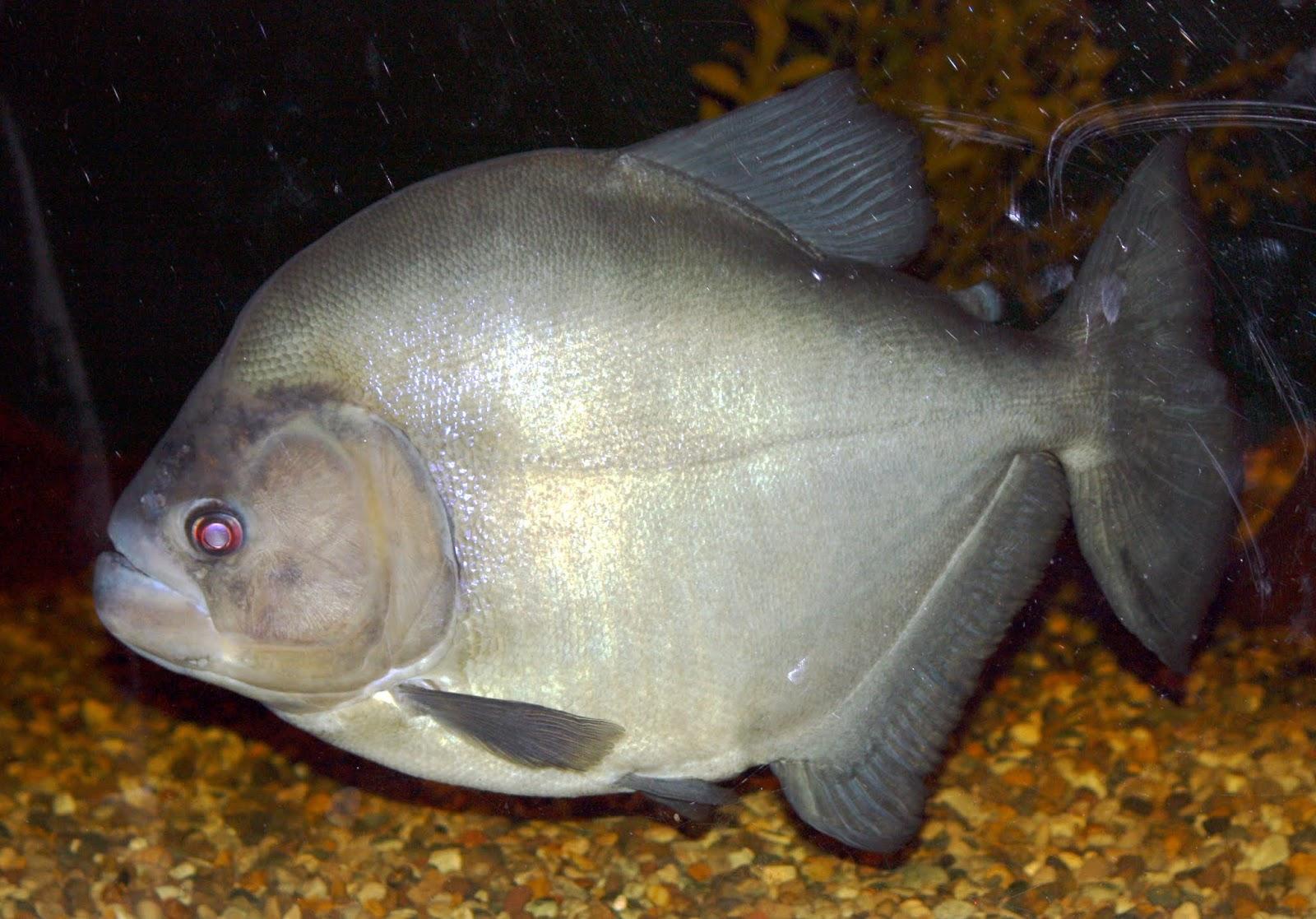Piranha Preta