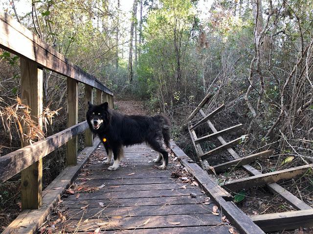 dog on a broken wooden bridge
