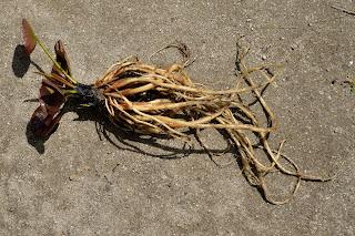 睡蓮の根の全容