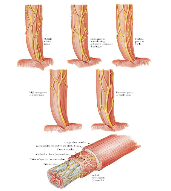 Intrinsic Nerves and Variations in Nerves of Esophagus Anatomy