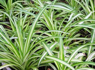 <img scr='nama_file_gambar.jpg'  alt='tanaman hias daun jenis  spider plant' />