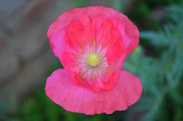 गार्डन के लिए सामान्य खसखस फूल-