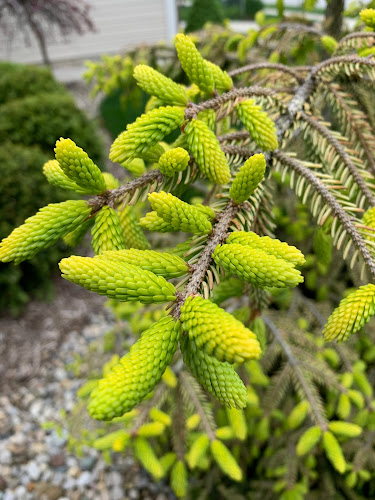 Picea orientalis 'Skylands' oriental spruce new growth