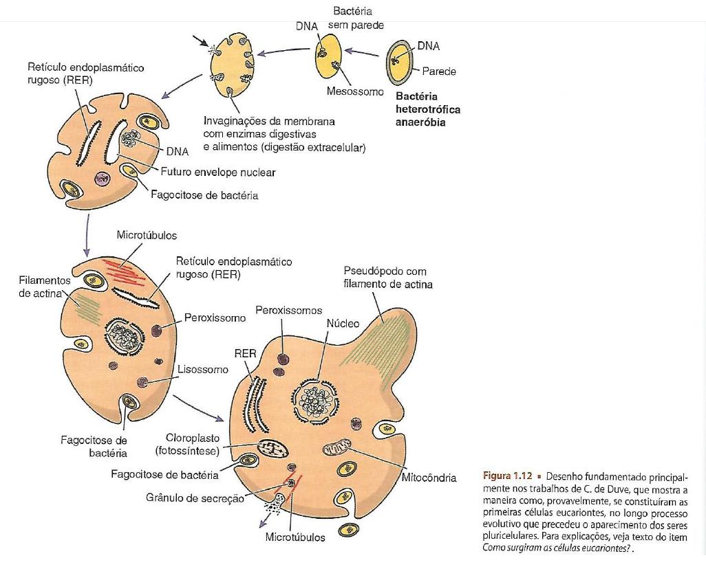 Como surgiram as células eucariontes?