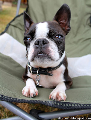 Sinead the Boston terrier in her chair