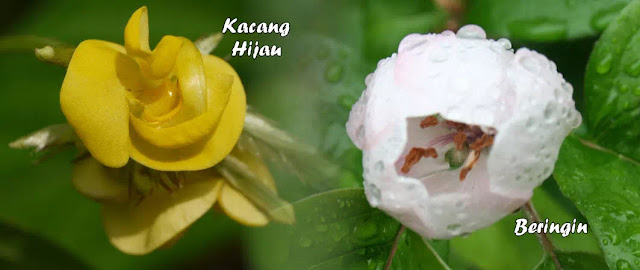 gambar kembang tumbuhan kacang_hijau dan pohon beringin