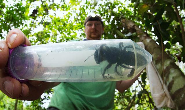 Hallan abeja más grande del mundo por primera vez luego de 38 años