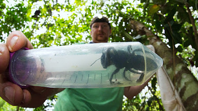 Indonesia: Hallan la abeja más grande del mundo que se daba por extinto
