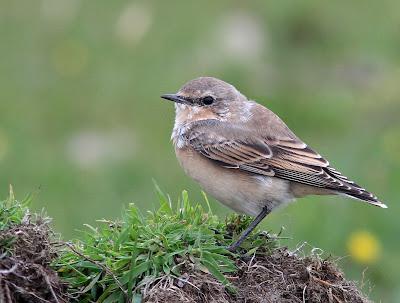 Northamptonshire Birding: Passerines of Fair Isle