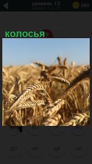 275 слов в поле созрели колосья пшеницы 13 уровень
