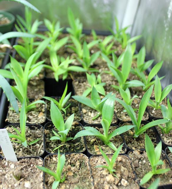 Agave chiapensis seedlings