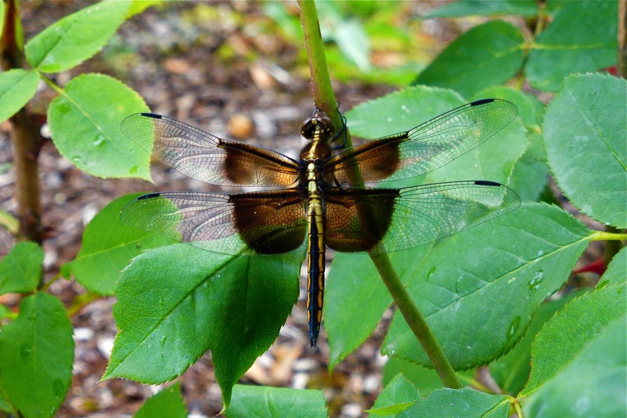 Owen Rose Garden, dragonfly, rose garden