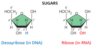 Perbedaan DNA dan RNA, perbedaan penyusun DNA dan RNA, perbedaan gula pentosa pada DNA dan RNA.