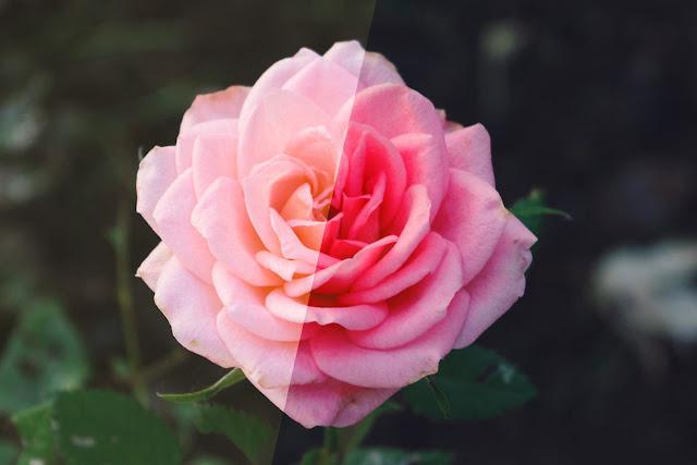 Rose Photoshop Action 4974092 ..