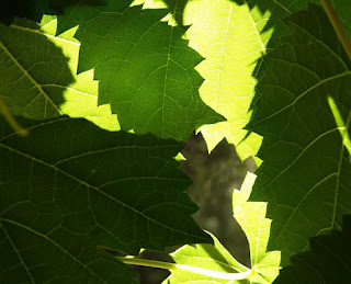 back-lit Vine leaves