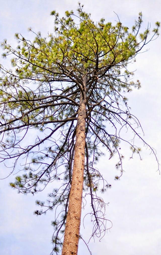pine tree, sky