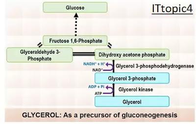 Importance of gluconeogenesis