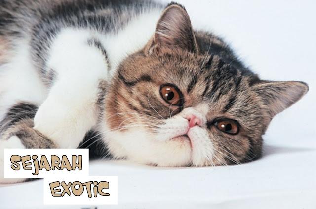 Harga Kucing Exotic Shorthair 2019