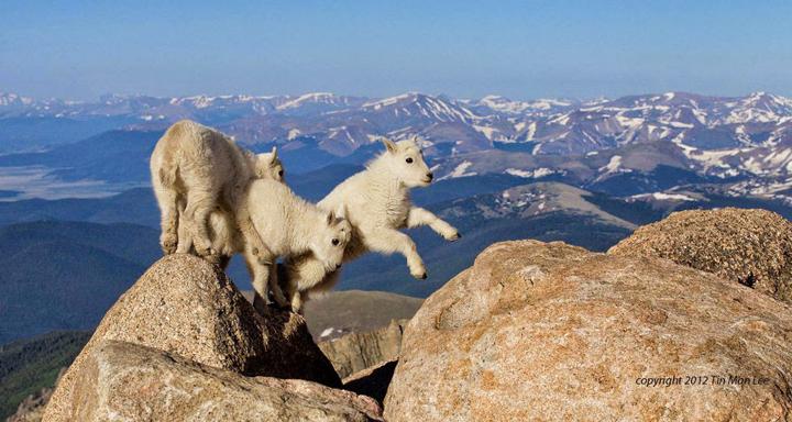 dağ keçilerine ait bir fotoğraf