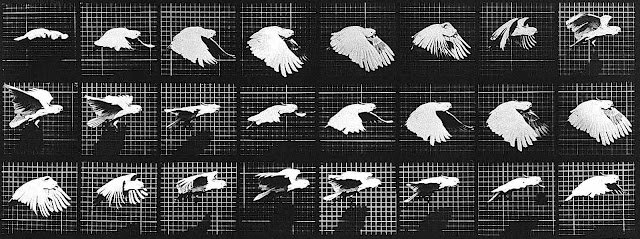 an 1887 Eadweard Muybridge photographic motion study of a flying bird