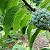 Flaszowiec łuskowaty - opis i uprawa