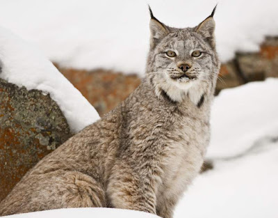 Lynx - Animals That Start With L