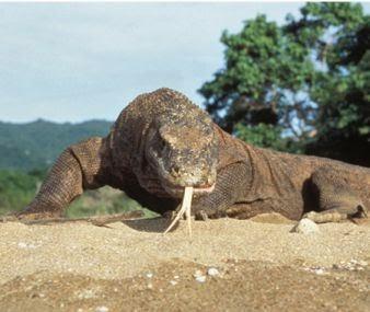 تعرف على التنين كومودو وما هى اهم صفاته Varanus komodoensis